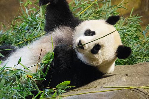 Oso panda!